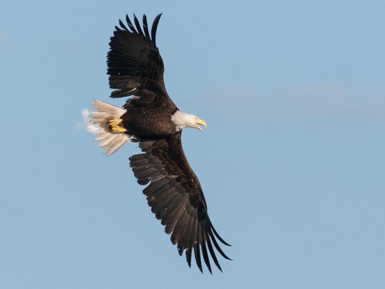 Bald Eagle at Smith Cove Seattle