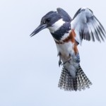 Belted Kingfisher in Seattle