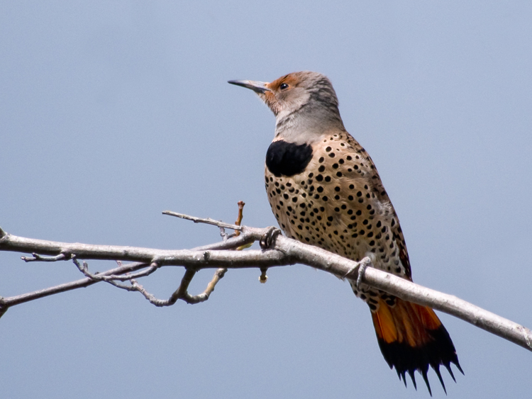 Northern Flicker at Smith Cove Park Seattle