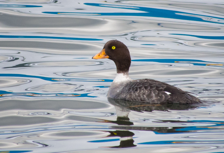 Female Goldeneye at Smith Cove Seattle
