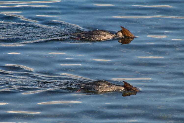 Red-breasted Mergansers fishing in Elliott Bay