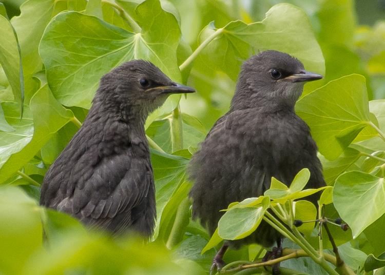 Starling Fledglings in Seattle
