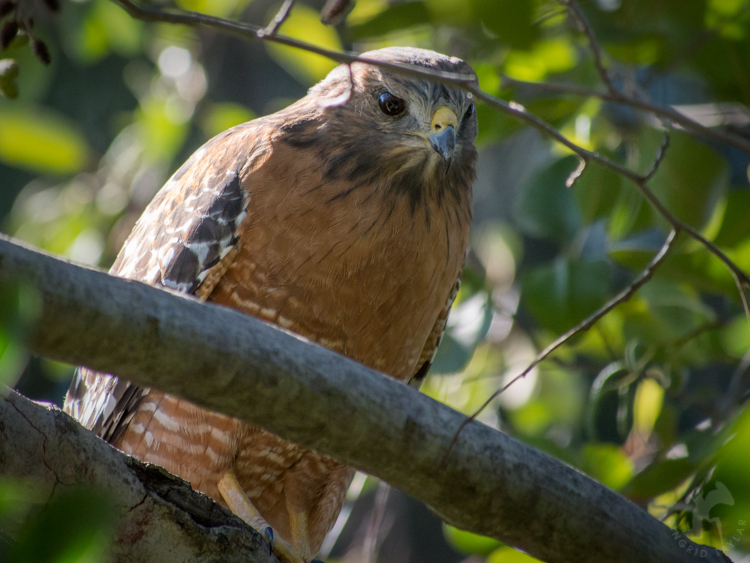 Furtive Red-Shouldered Hawk - ©ingridtaylar