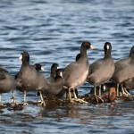 American Coot Union Bay Seattle