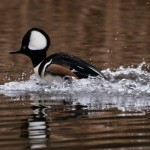 Hooded Merganser Male Seattle