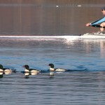 Common Mergansers Lake Washington