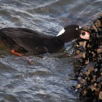 Surf Scoter Seattle