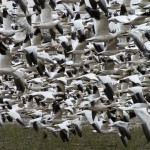 Snow Geese in Flight Fir Island