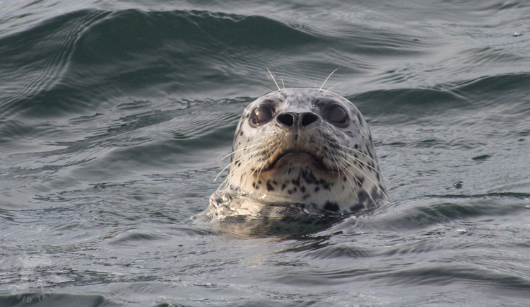 Harbor Seal in Elliott Bay