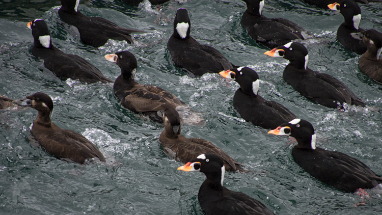 Surf Scoters on Elliott Bay