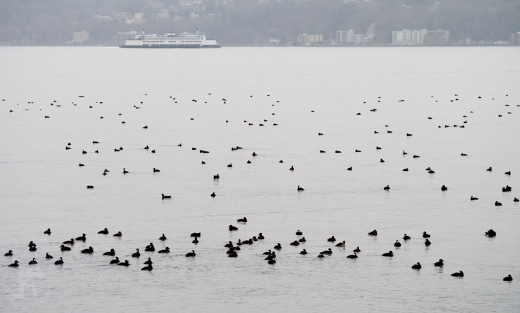 Wintering ducks on Puget Sound