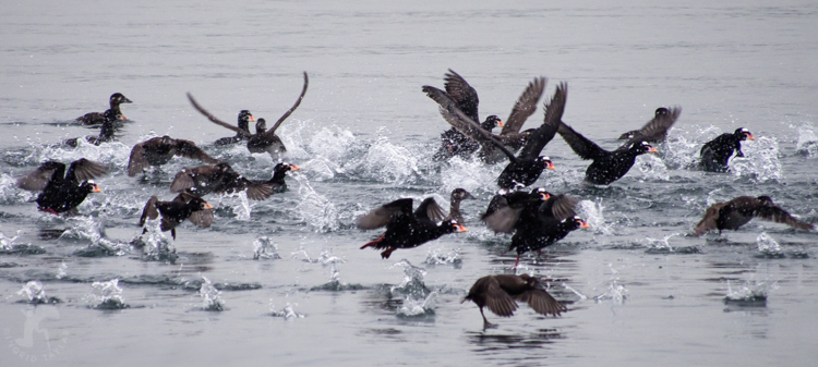 Surf Scoter Flight - ©ingridtaylar