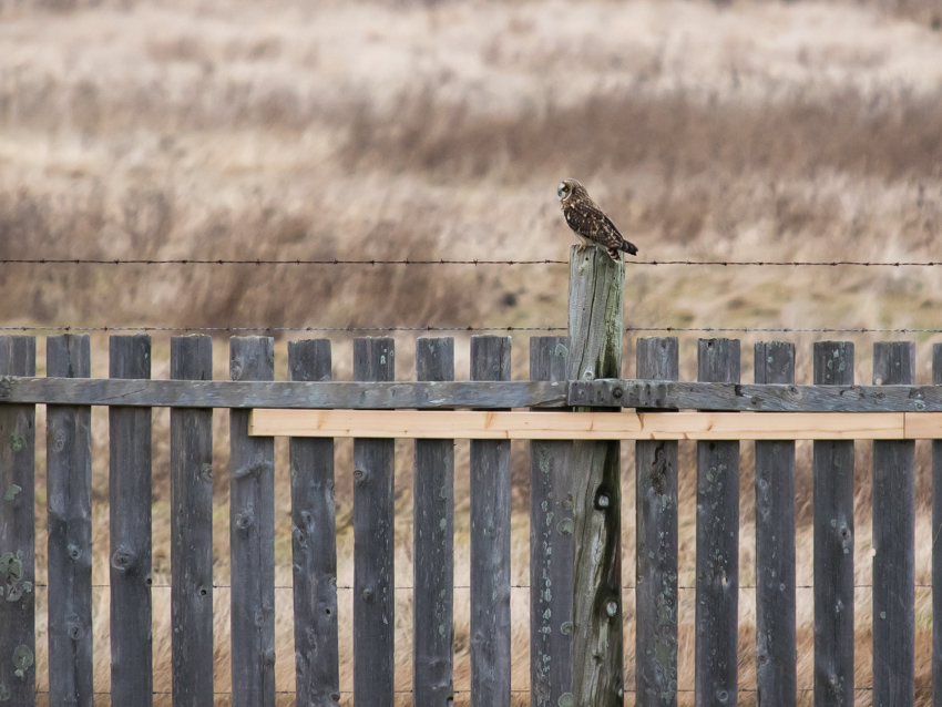 Owl on Fence Post