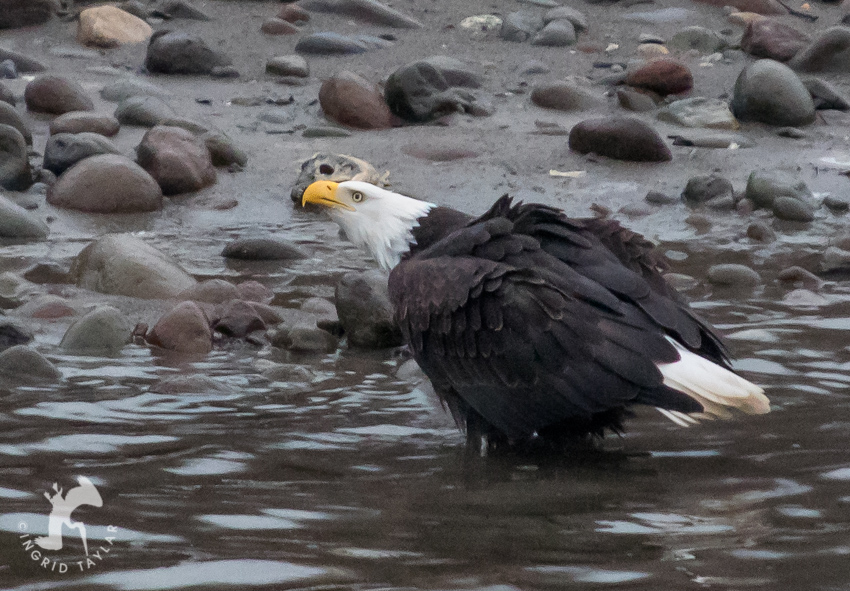 Bald Eagle on Squamish River