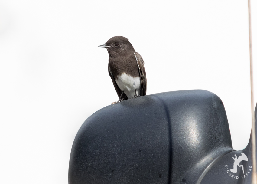 Black Phoebe perched on car mirror