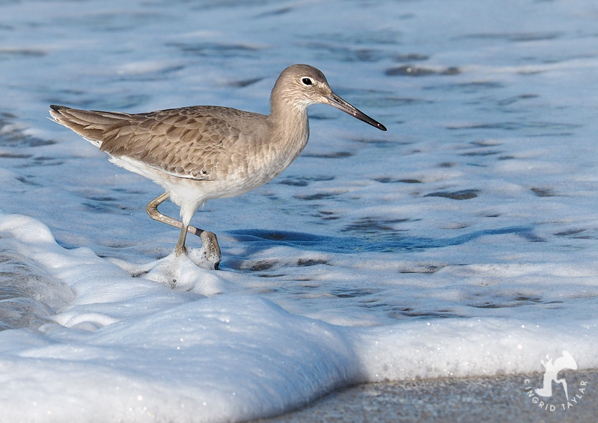 Willet in California surf