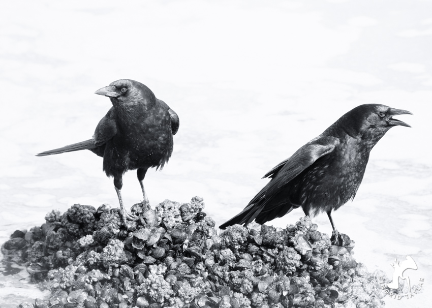 Crows foraging for mussels at Ballard Locks