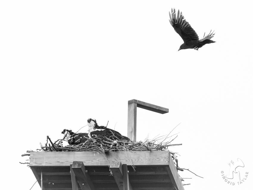 Crow Osprey 3