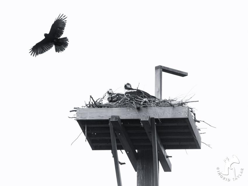 Crow Osprey 4
