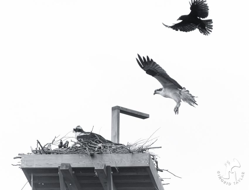 Crow Osprey 5