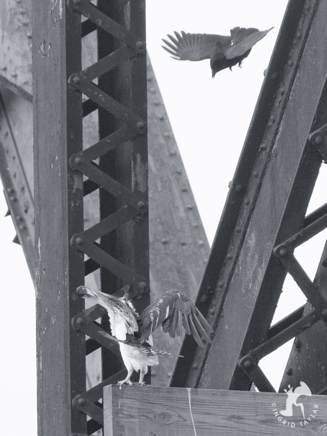 Crow Osprey Bridge 3