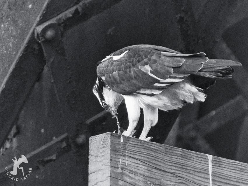 Osprey eating fish on Ballard Train Bridge