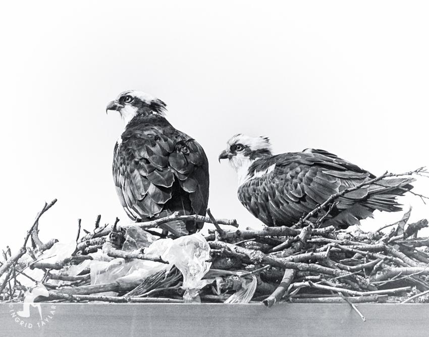 Osprey Pair on Ballard Locks Nesting Platform Seattle
