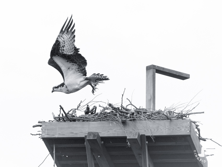 Crow Osprey Leaving Nest