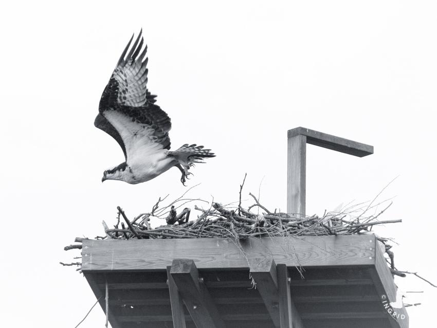 Crow Osprey Leaving Nest
