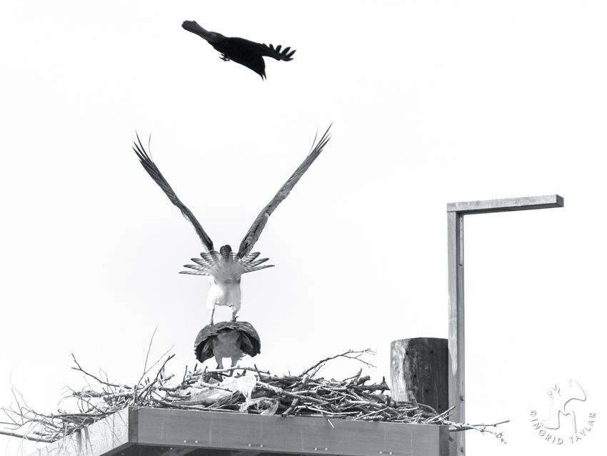 Crow Osprey Mating