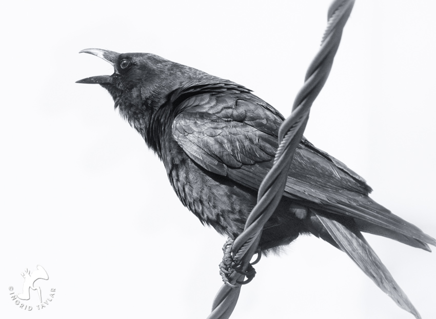 American Crow on utility cable in Seattle