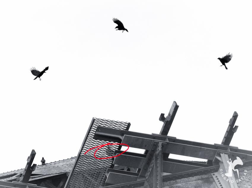 Crow Osprey Train Bridge 2