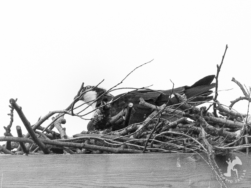 Osprey Arranging Twigs in Nest