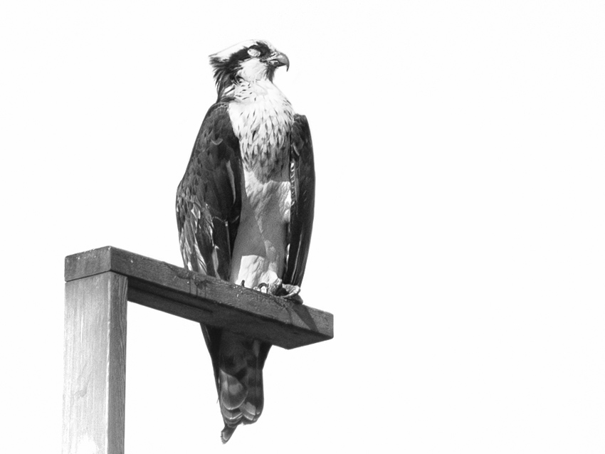 Osprey sleeping at Ballard Locks nesting platform