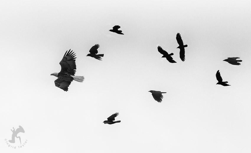 eaglecrows