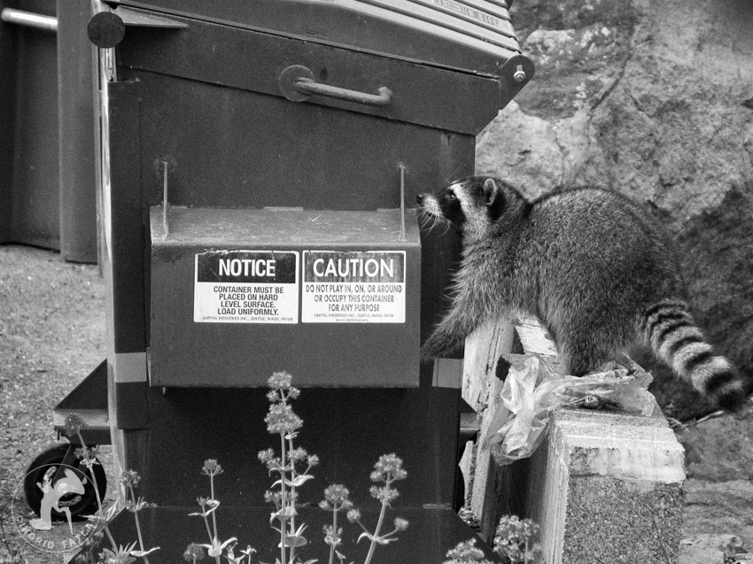 Raccoon at a Seattle dumpster