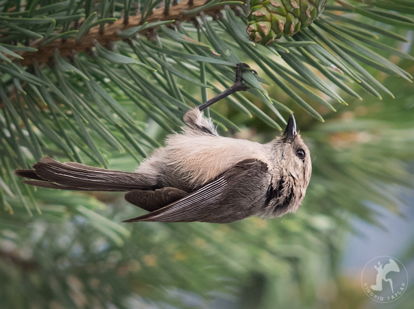 American Bushtit eating insect in Seattle