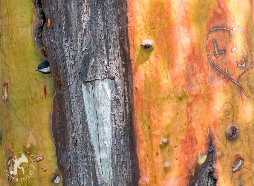 Chickadee nesting in madrona tree seattle