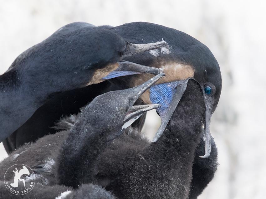 c-cormorant2