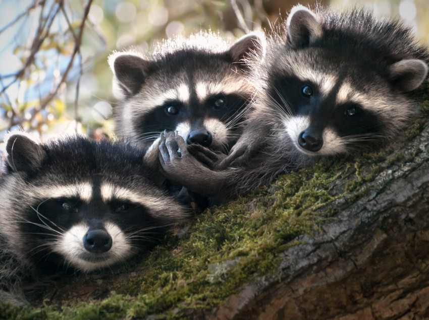 Raccoon Trio 1200