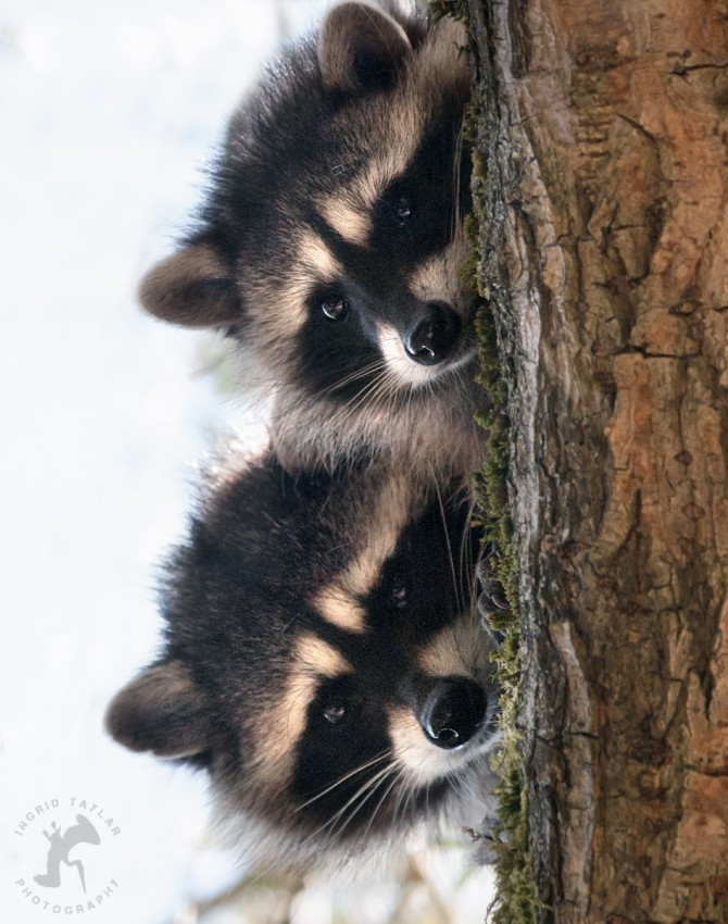 WB-Raccoon Duo