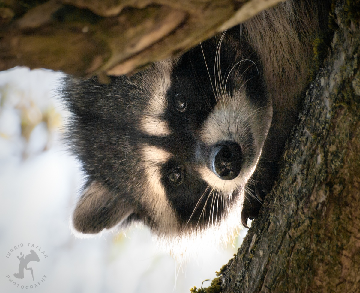The Wild Beat | Urban Wildlife of Seattle and San ... Raccoon Face