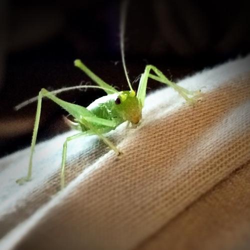Grasshopper 1