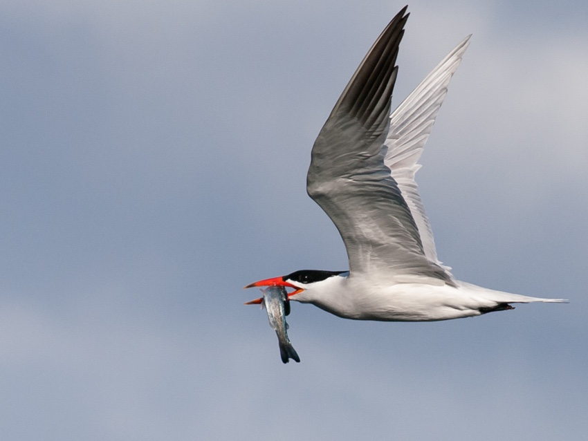 Caspian Tern returning to his mate, over Elliott Bay in Seattle.