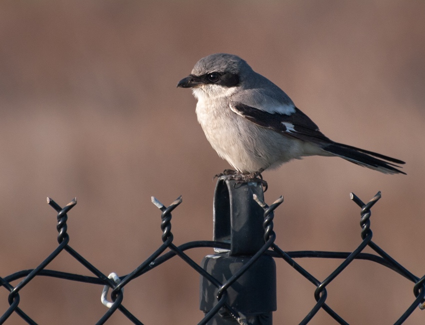 My first sighting of a Northern Shrike, shared on a birding list