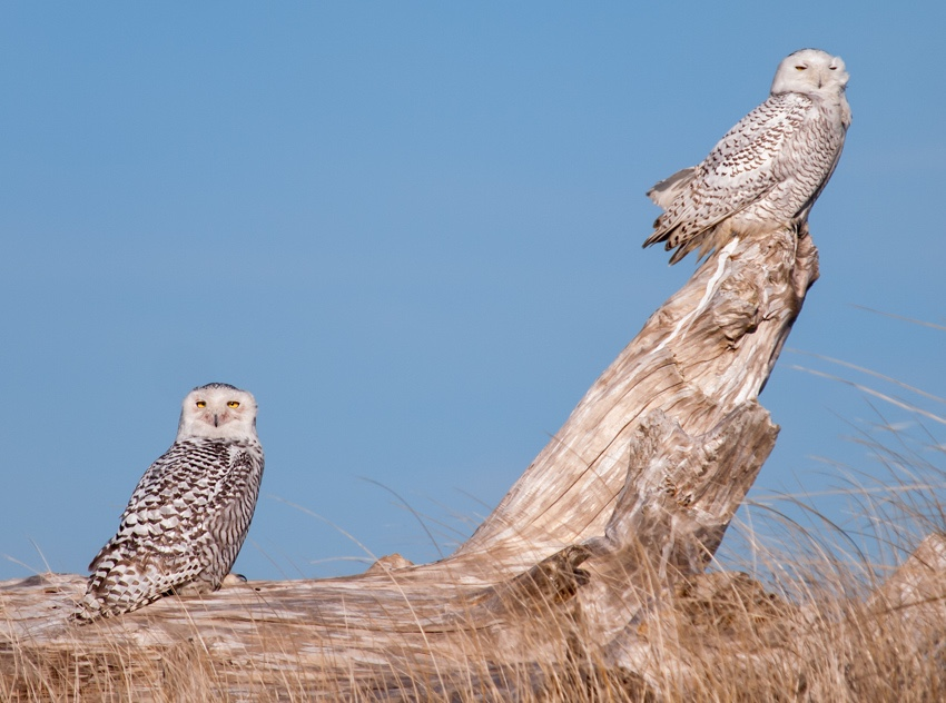 Snowy Owls at Ocean Shores ~ location shared with me by a photographer I met at another location.