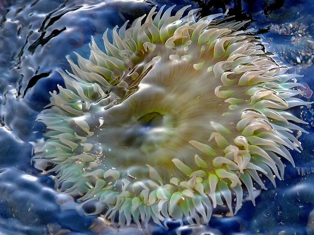 Green Anemone at Fitzgerald Marine Reserve