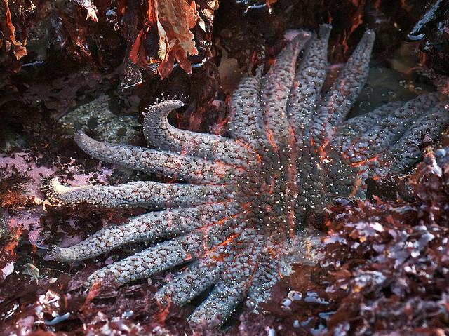 Sunflower Star at Fitzgerald Marine Reserve