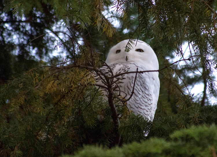 Snowy Owl on Capitol Hill in Seattle