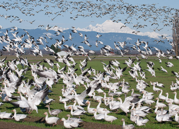 Snow Geese flying in Skagit County
